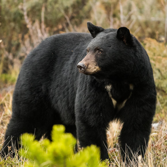 A black bear as seen near Wildhaven Ranch.